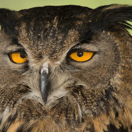 Woke Up for WHAT? by Greg Johnson - Animals Birds ( bird, arizona, owl, trees, forest, raptor, yellow, eyes )