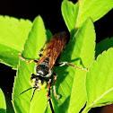 Green-eyed Wasp