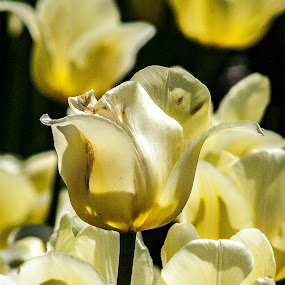 White beauty by Zoran Mrđanov - Flowers Flower Gardens (  )