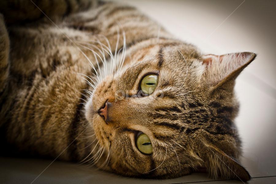 Eye to Eye by Dito Hendarto - Animals - Cats Portraits ( cat, funny cat, cute cat, tobby, eye )