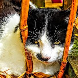 Chinese Bamboo Cat  by Ian Popple - Animals - Cats Portraits ( cat, bamboo, chinese resturant, chinese )