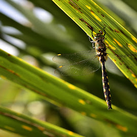 Gray's Dragonfly hunting in Travis Wetlands by Yani Dubin - Animals Insects & Spiders