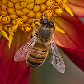 by Jim Jones - Animals Insects & Spiders ( macro, bee, nature, insect, nature up close )