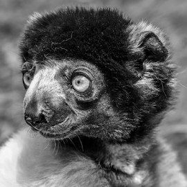 Sifaka by Garry Chisholm - Black & White Animals ( primate, sifaka, mammal, nature, garry chisholm )
