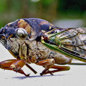 Ugly by June Morris - Animals Insects & Spiders ( animals, locust, insects and spiders,  )