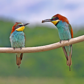 European bee-eater 2 by Simon Kovacic - Animals Birds ( pwctaggedbirds, bird ·     european bee-eater ·     aves ·     meropidae ·     merops apiaster ·,  )