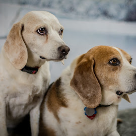 My Two 15 Year Old Beagles by Stuart Partridge - Animals - Dogs Portraits