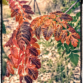 Autumn-Chinese Acacia by Eugene Dopheide - Nature Up Close Leaves & Grasses ( tree, australian, autumn, vibrant, leaves )