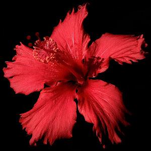 Jan 15 hibiscus with phone.jpg