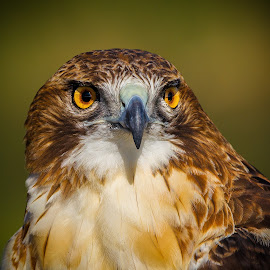 Red-tailed Hawk by Terry Watson - Animals Birds