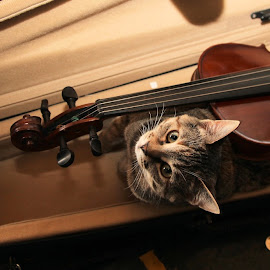 The cat in Music! by Anita Atta - Artistic Objects Musical Instruments ( music, cat, violin, muted, cute,  )