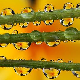 Yellow Harmonic by Saefull Regina - Nature Up Close Natural Waterdrops