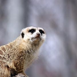 Meerkat by Chris Snyder - Animals Other Mammals ( zoo, meerkat, mammal, animal )