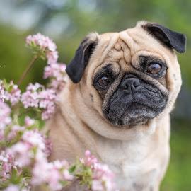 daisy1 by Jennifer Wollman - Animals - Dogs Portraits ( animals, pet photography, dog portrait, pugs, flowers )