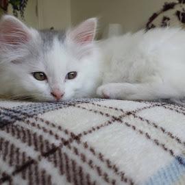Kitten by Aren Dummer - Animals - Cats Kittens