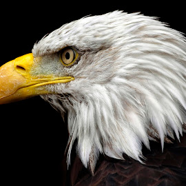 Prepared to Strike by Pat Hartley - Animals Birds ( eagle, bird of prey, white, bald eagle, yellow, feathers, bird, beak, raptor, brown, gold, black, eye )