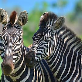 Zebra by Diane Rogers Jones - Novices Only Wildlife