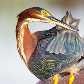 Heron by Paul Flacco - Animals Birds ( bird, animals, nature, colors, florida, heron, birds )