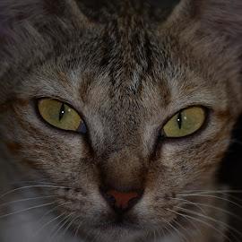 Face cat by Achirut Tammam - Animals Lions, Tigers & Big Cats ( #cat #animal )