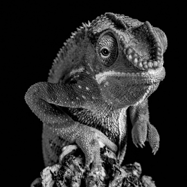 by Garry Chisholm - Black & White Animals ( macro, chameleon, nature, reptile, lizard, garry chisholm )