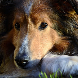 A Well Deserved Rest by Tim Hall - Animals - Dogs Portraits ( sunset, shetland sheepgog, dog portrait, dusk, sheltie, dog closeup, golden hour,  )