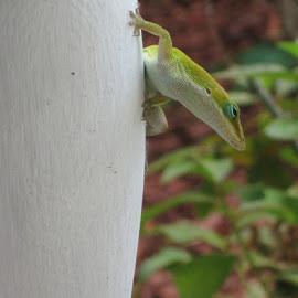 green anole lizard by Donna Sundblad - Animals Reptiles ( #american green anole, #green anole, #starter reptile, #american anole, #green lizard )