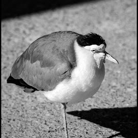 Yellow Head Masked Lapwing by Dave Lipchen - Black & White Animals ( yellow head masked lapwing, bird )