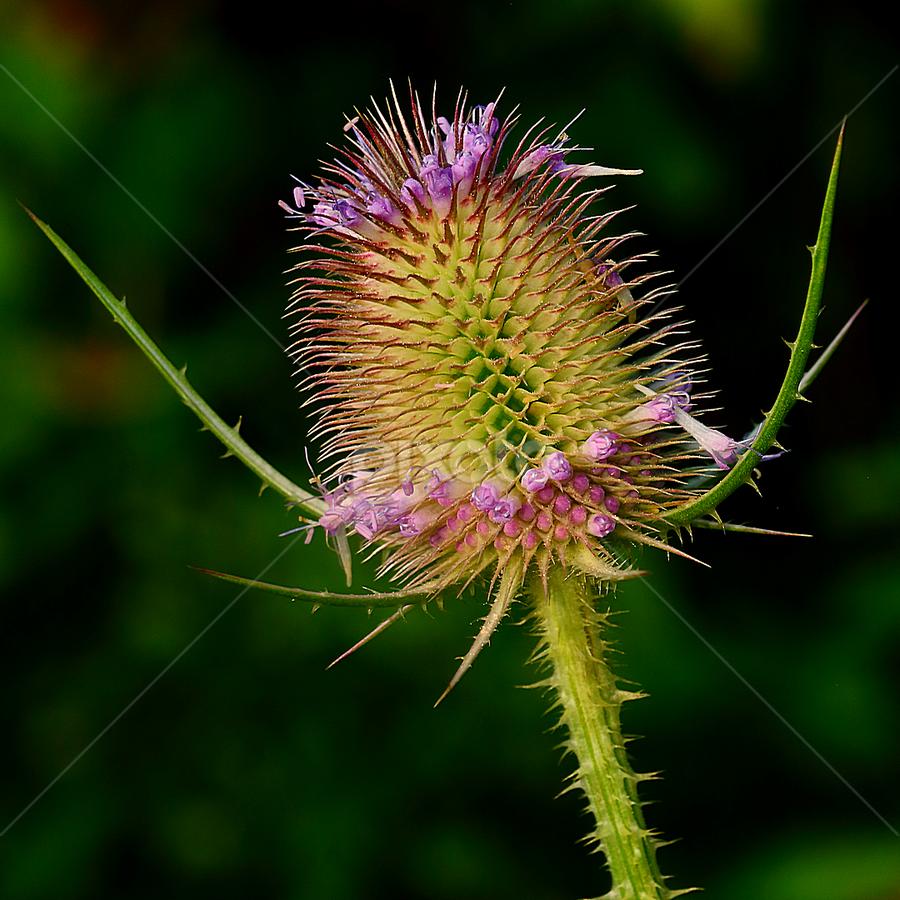 Cardère sylvestre by Gérard CHATENET - Nature Up Close Other plants