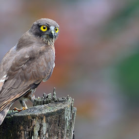 Brown Hawk Owl by Young Sung Bae - Animals Birds ( brown hawk owl )