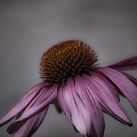 Pink Laying Down by Janice Mcgregor - Flowers Single Flower ( wild flower, wild, single, nature, petals, pink, cone, outside, flower photography, flower, soft )