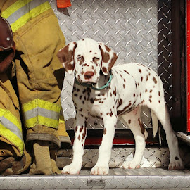 Fire pup by Suzi Wahl - Animals - Dogs Puppies ( #dalmatian )