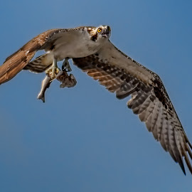 Osprey with fish by Shutter Bay Photography - Animals Birds ( bird, flying, bird of prey, nature, osprey )