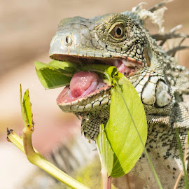 Iguana eating lunch by Greg Bracco - Animals Amphibians ( saint maarten. bikini beach, canon 1d x mark ii, saint marten, mullet bay, greg bracco photography )