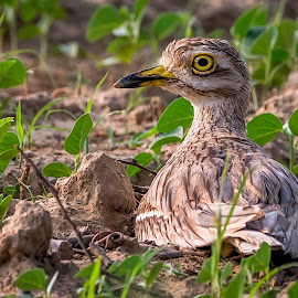 Alert by Sanjeev Goyal - Animals Birds ( bird, nikon d 750, nature, nikon, thick knee, indian birds, birds, animal )