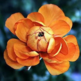Orange Ranunculus by Pieter J de Villiers - Flowers Single Flower