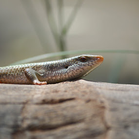 Long Tail Lizard. by Yogesh Kumar - Animals Reptiles ( lizard, coconut, tree, long, tail )