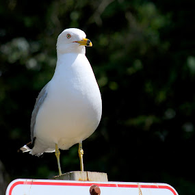 Please No Dogs by Julie Quesnel - Novices Only Wildlife ( sign, bird, no dogs, post, seagull, white, beach, rules )