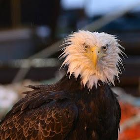 Fierce by Capt Jack - Animals Birds ( eagle clan, eagle, mystery, nature, snow, alaska, wonder, bald eagle )