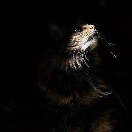 Jas by Chris S - Animals - Cats Portraits ( animals, cat, intense, photography, portrait )