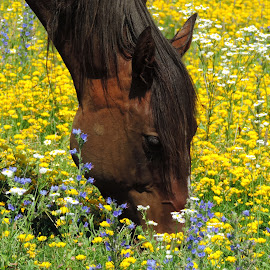 by Sara Turner - Animals Horses ( brown mane, pet, outdoors, horse, scenic, flowers, domestic, outside, animal )