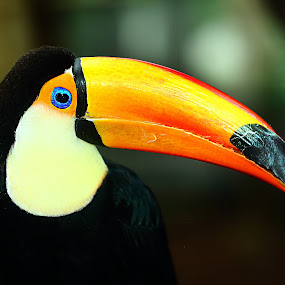 Toucan by Gérard CHATENET - Animals Birds