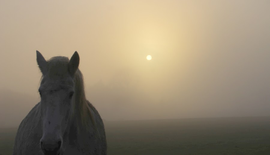 Horse in Foggy Sun by Andro Andrejevic - Animals Horses ( fog, horse, sun )