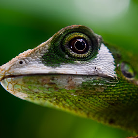 Lizard by Jun Santos - Animals Reptiles ( lizard, green, chameleon, camouflage )