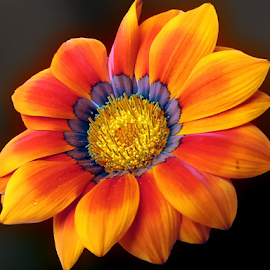 beautiful gazania by LADOCKi Elvira - Flowers Single Flower ( nature, color, flowers, garden )