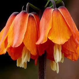 by Ramade Genevieve - Flowers Single Flower