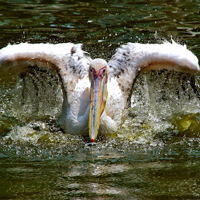 Pelican Splash by Alit  Apriyana - Animals Birds
