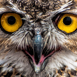 Great Horned Owl by Cameron Knudsen - Animals Birds ( knudsen outdoors, cameron knudsen, great horned owl, owls, eyes )