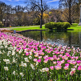 Tulips at the Moody Pond by Pat Lasley - City,  Street & Park  Cemeteries ( water, graves, cemetery, monument, tulips )