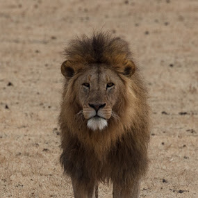 Lion by VAM Photography - Animals Lions, Tigers & Big Cats ( lion, nature, tanzania, mammal, animal,  )
