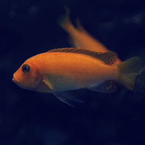 Gold fish by Delia Galhotra - Animals Fish ( water, wild, life, digiphotography, zoo, blue, fish, gold )